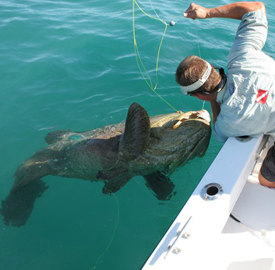 500 lb Goliath Grouper