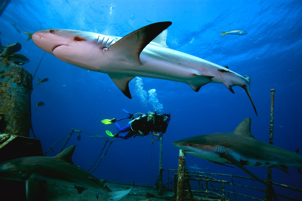 Shark with Divers